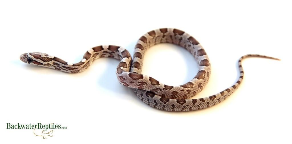 classic corn snake - photo #37