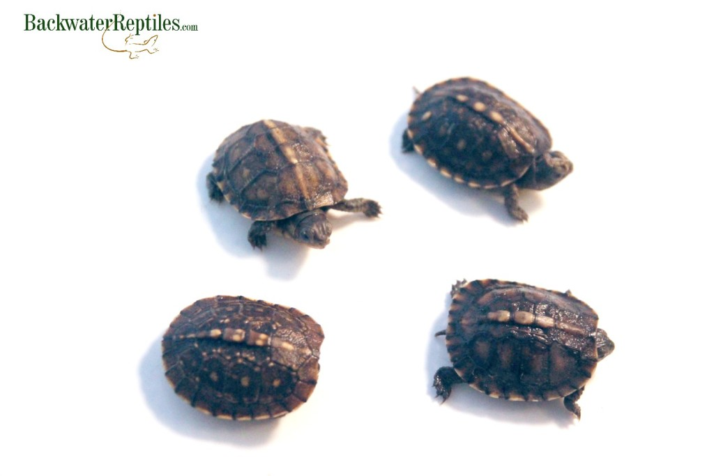 How to Care for a Hatchling Eastern Box Turtle