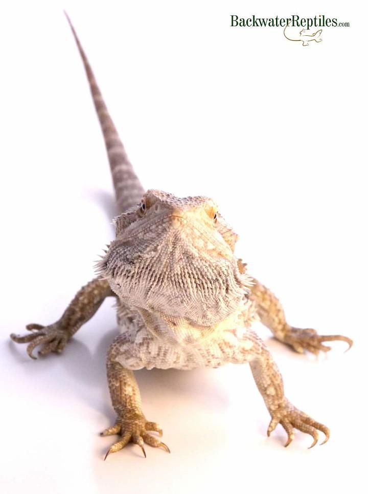 Bearded Dragon snacks on crickets For breakfast - YouTube