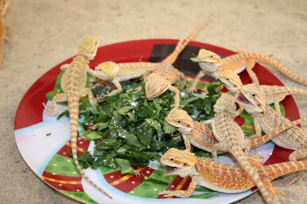 What Foods Can Bearded Dragons Not Eat