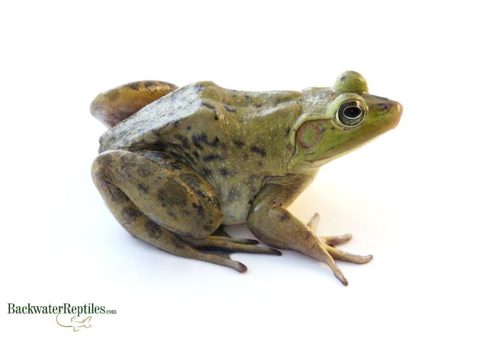 Pet frogs species - photo#24