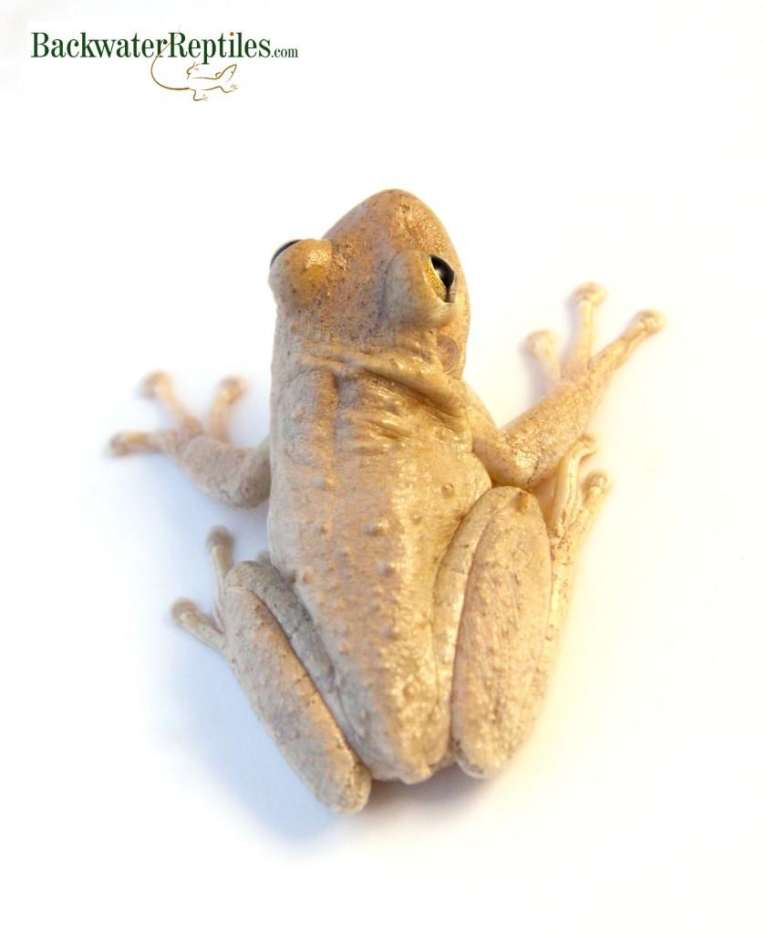 Pet frogs species - photo#51