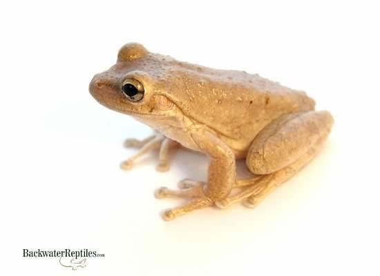 Pet frogs species - photo#16