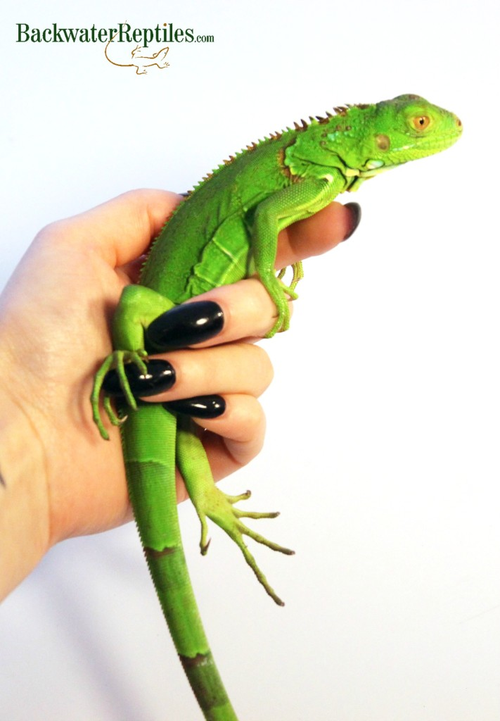 Pet Green Iguana Care