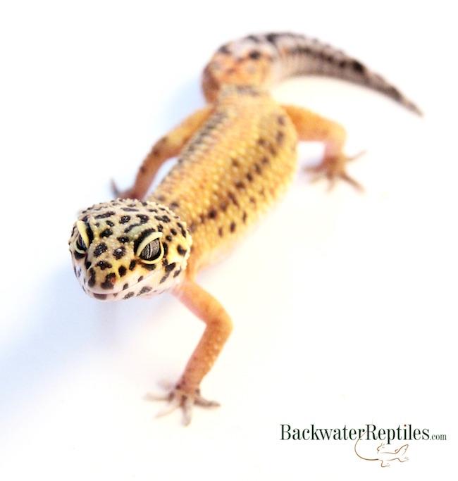 geckos online menu
