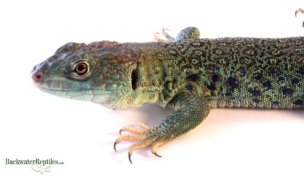 Colorful Pet Lizards The Most Colorf...