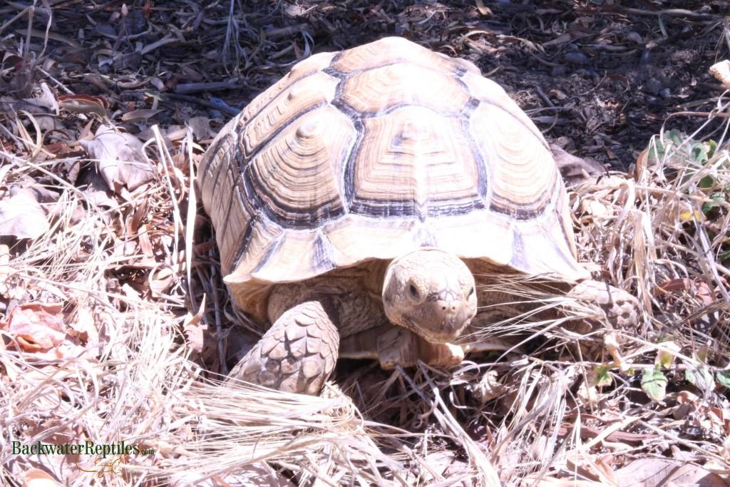 Creating An Outdoor Sulcata Tortoise Pen