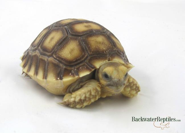 Sulcata Tortoise Care In Captivity