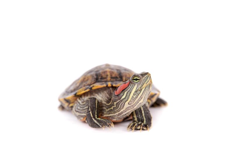 Most Popular Pet Turtl...