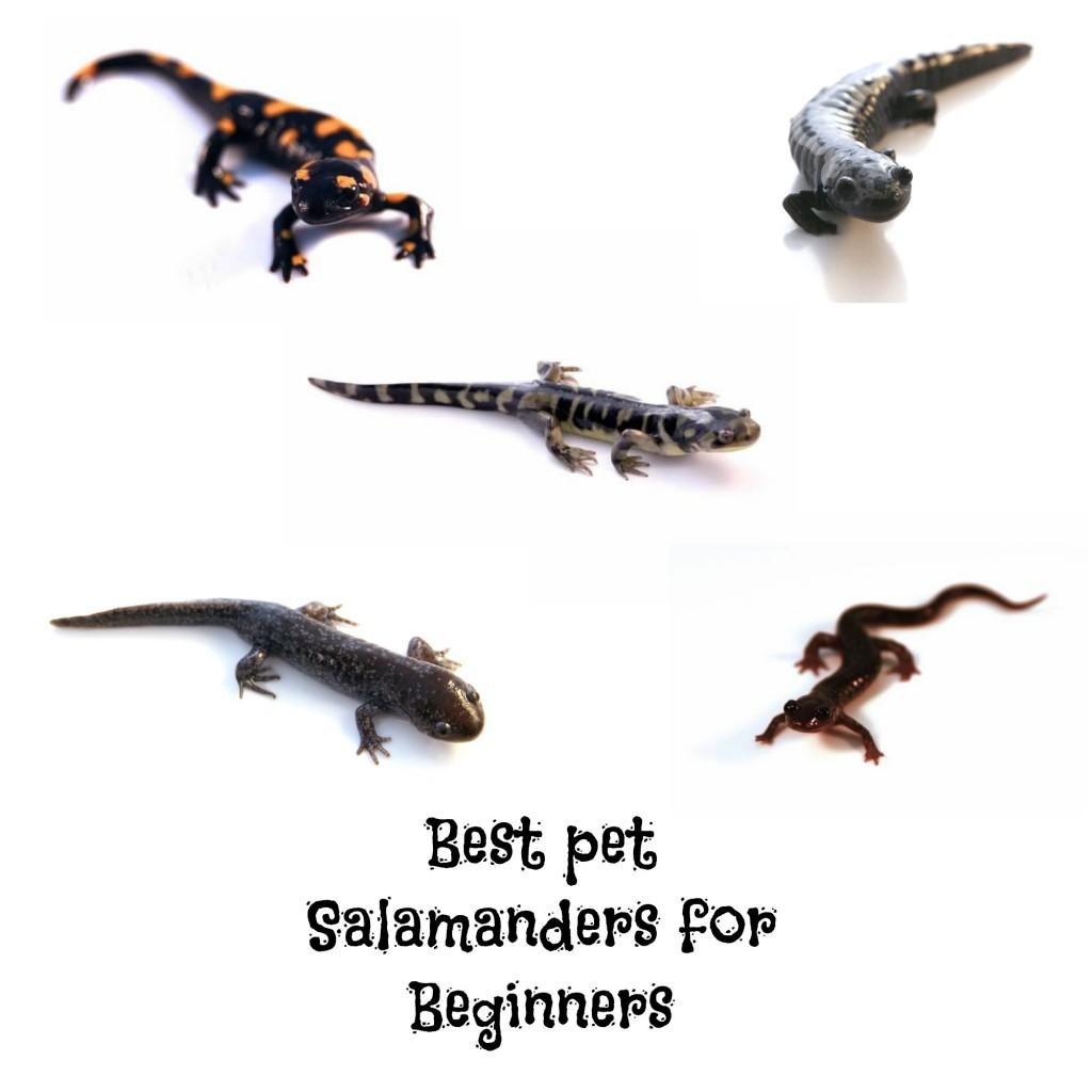 The Best Pet Salamanders for Beginners