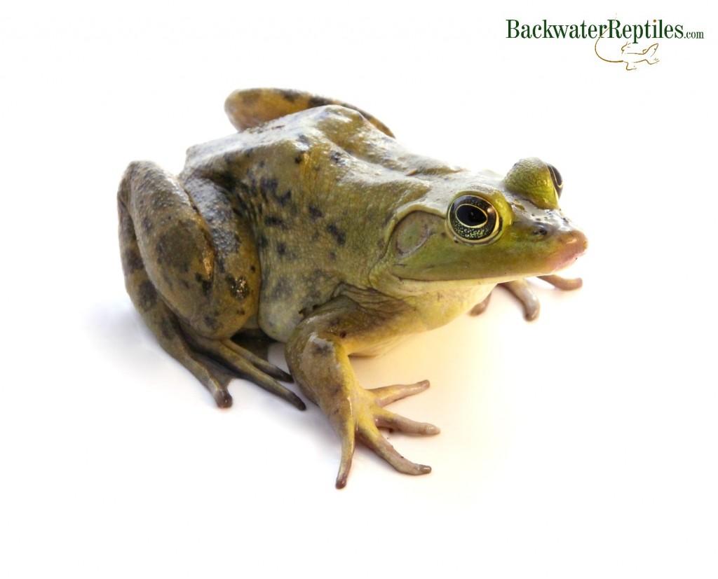 do bullfrogs make good pets