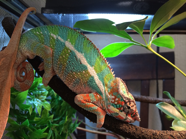 How To Breed Panther Chameleons