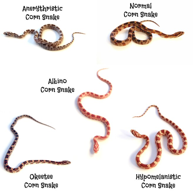 characteristics and spieces of boa snakes The 5 main characteristics of reptiles search the site go animals and nature animals and zoology reptiles basics amphibians arthropods  in many species, the .