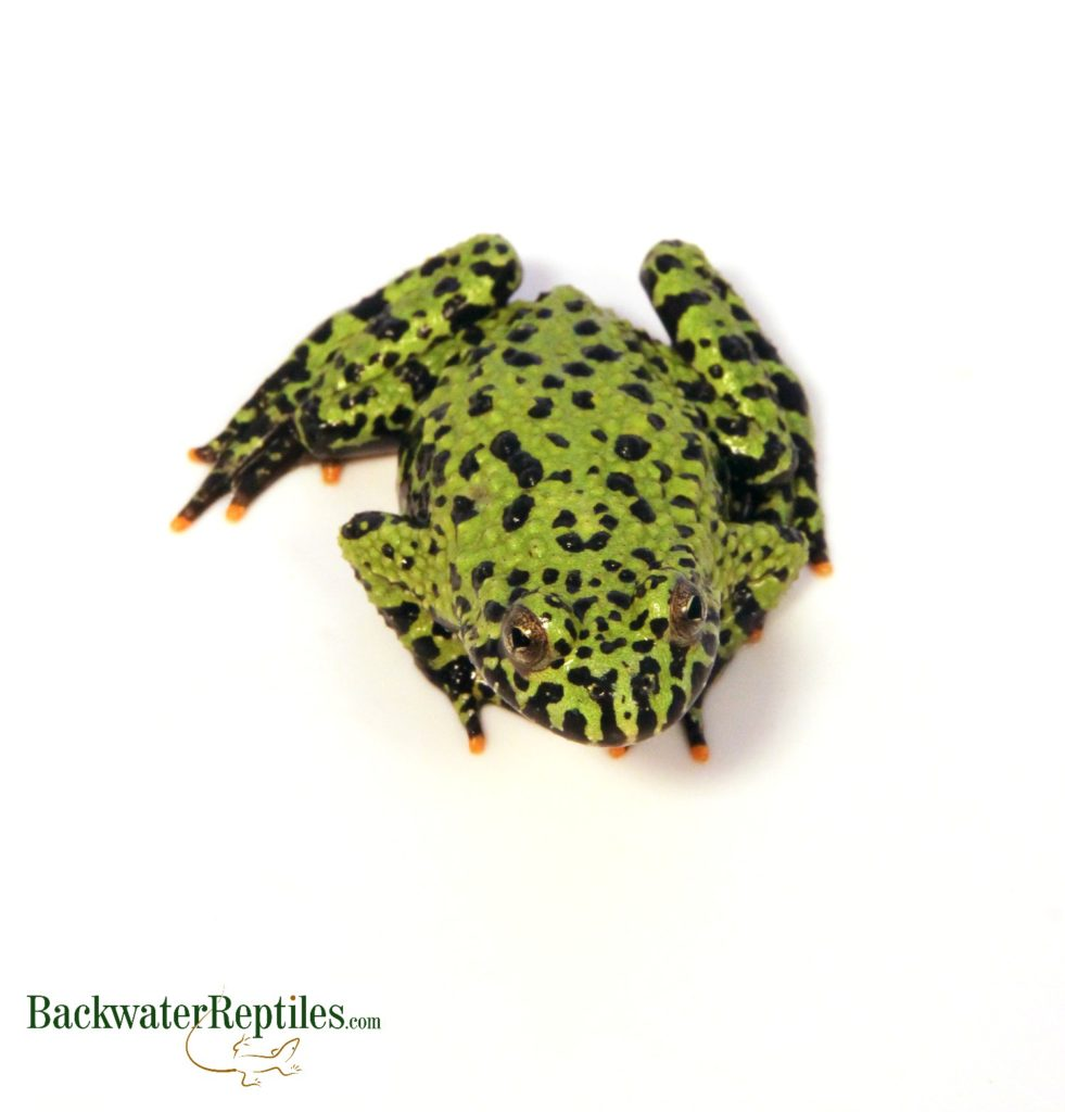 foto How to Care for a Fire Bellied Toad (Bombina Orientalis)
