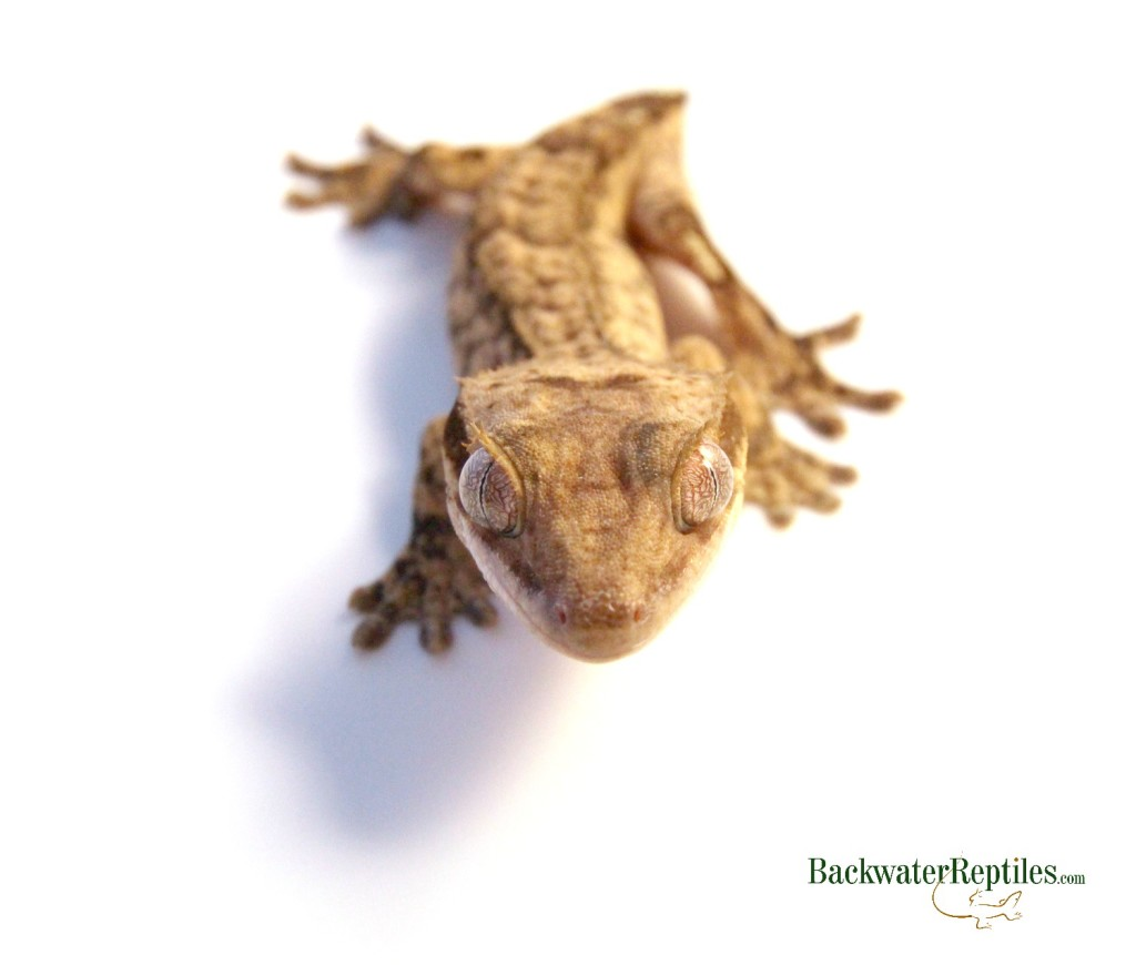 What To Do If Your Crested Gecko Loses Its Tail