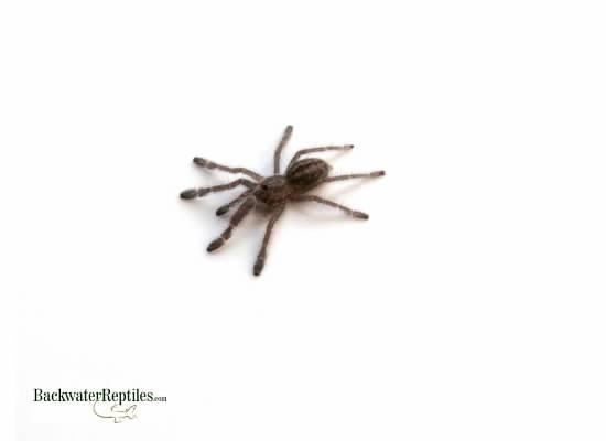 Gooty Sapphire Ornamental Tree Spider