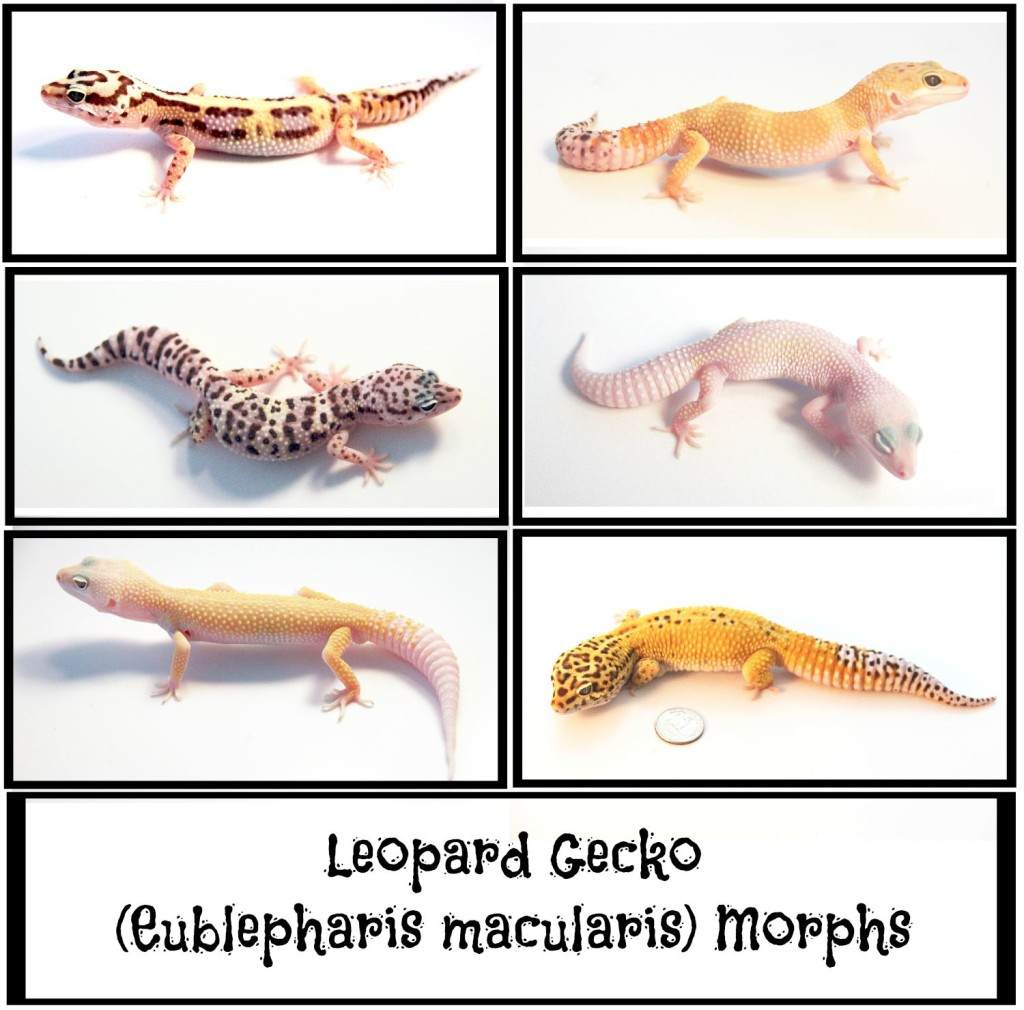 What Do Colors Mean Most Popular Leopard Gecko Morphs