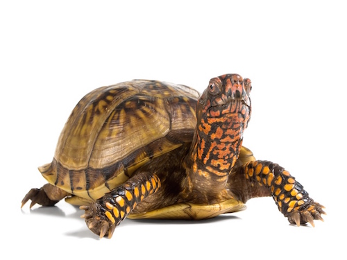 How To Breed Box Turtles